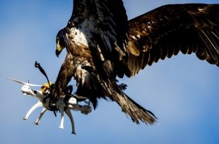 Drone-catching eagle photo goes viral - Can an Eagle Catch a Drone?